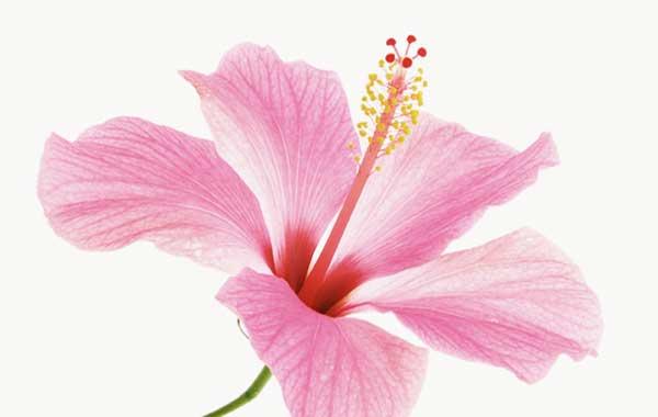 گل عروس. خواستار